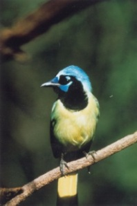 Green jay from another  angle in McAllen, Texas
