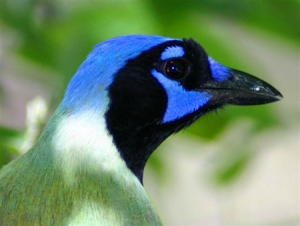 This migratory green jay shows off  brilliant plumage